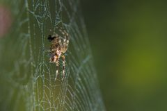 Cross Spider in web Garden useful insect. Close up Stock Photos