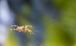 Cross Spider in web Garden useful insect. Close up Stock Image