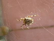 Cross spider Royalty Free Stock Images