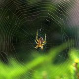Cross Spider in woven spidery Stock Photography