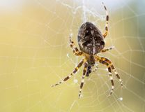 The cross-spiders Araneus. The cross-spiders Araneus in the spider web Stock Photos