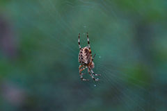 Cross tee spider in its network. Royalty Free Stock Photography