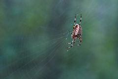 Cross tee spider in its network. Stock Photo