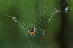 Cross tee spider in its network. Stock Image