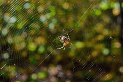Cross tee spider. Stock Photography