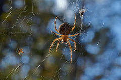 Cross tee spider in its network. Royalty Free Stock Photo