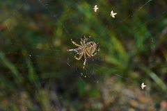 Cross tee spider in its network. Royalty Free Stock Photos
