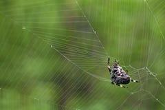 Cross tee spider in  network eats prey. Stock Photo