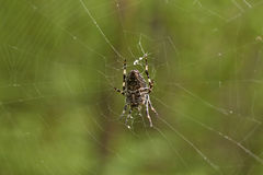 Cross tee spider in   network eats prey. Royalty Free Stock Photo