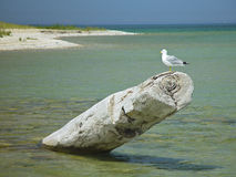 Cross Village Michigan Gull. Seagull Great lake Michigan Cross Village water beach driftwood travel Royalty Free Stock Images