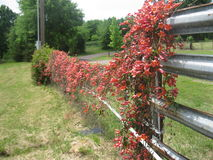 Cross Vine. On a Ranch Fence in East Texas Royalty Free Stock Image