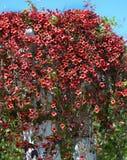 Cross vine variety Dragon Lady stock photography