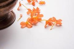 crossandra亦称储蓄照片在印度开花Aboli花 图库摄影