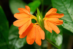 Crossandra Royalty Free Stock Photo