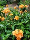 Crossandra blomma Royaltyfria Bilder