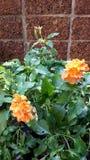 Crossandra blommor Arkivfoto