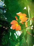 Crossandra Royalty Free Stock Photography