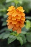 Crossandra flower Royalty Free Stock Photo