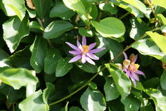 Crossberry, Grewia occidentalis. Decorative small deciduous tree with shining deep green serrate leaves, purple star shaped flowers and four lobed reddish Stock Image