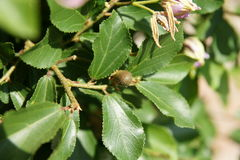 Crossberry, Grewia occidentalis. Decorative small deciduous tree with shining deep green serrate leaves, purple star shaped flowers and four lobed reddish Stock Photo