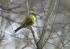 Crossbill amarillo en el arbusto de la rama Fotografía de archivo