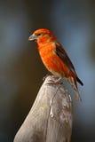 Crossbill, curvirostra do Loxia, aves canoras vermelhas que sentam-se no tronco de árvore, animal no habitat da natureza, Alemanh imagens de stock