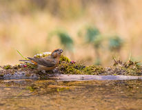 Crossbill drinking at pool Royalty Free Stock Photos