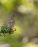 Crossbill fêmea retroiluminado no ramo do pinho Imagem de Stock