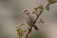 Crossbill, Loxia curvirostra Stock Photos