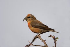 Crossbill, Loxia curvirostra. Crossbill Loxia curvirostra, male on branch Royalty Free Stock Photography