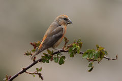 Crossbill, Loxia curvirostra. Crossbill Loxia curvirostra, male on branch Stock Images