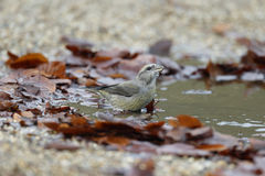 Crossbill, Loxia curvirostra Royalty Free Stock Images