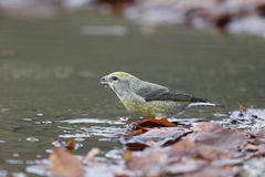 Crossbill, Loxia curvirostra Stock Image