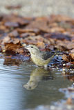 Crossbill, Loxia curvirostra, Royalty Free Stock Photo