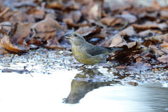 Crossbill, Loxia curvirostra, Royalty Free Stock Image