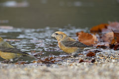 Crossbill, Loxia curvirostra Royalty Free Stock Photo