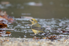 Crossbill, Loxia curvirostra Stock Photography