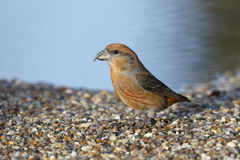 Crossbill, Loxia curvirostra, Royalty Free Stock Images