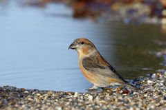 Crossbill, Loxia curvirostra, Stock Photos