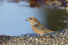 Crossbill, Loxia curvirostra,. Single male at water, Sussex, Januray 2014 Royalty Free Stock Photography