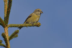 Crossbill in natural habita Royalty Free Stock Photography
