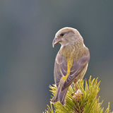 Crossbill in natural habitat (loxia curvirostra) Stock Images