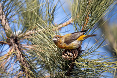 Crossbill at the pine tree. Crossbill sitting on the pine cone at branch in the forest Royalty Free Stock Photography