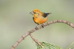 Crossbill rosso - maschio fotografia stock