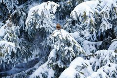 Crossbill sits on the snowy branches of huge spruce trees. During a snowfall Stock Photography