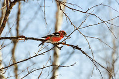Crossbill. Two-barred crossbill or white-winged crossbill, Loxia leucoptera Stock Images
