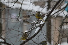 Crossbills Royalty Free Stock Photography