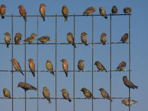 CrossBills Royalty Free Stock Photos