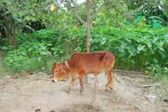 Cow Dairy cattle obtained from a cross between individuals of two genetically different. Crossbred cow Dairy cattle obtained from a cross between individuals of royalty free stock photos