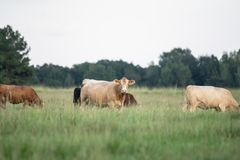 Crossbred cows in southern pasture